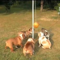 des chiens bulldogs jouent à la balle ensemble