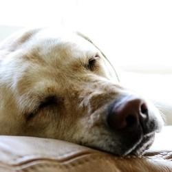 syncortyl chiens malades