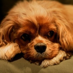 garde chien divorce cavalier king charles
