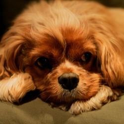 garde chien divorce cavalier king charles