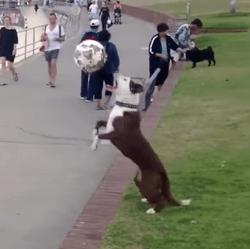 Le chien qui joue au football