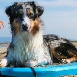 un chien sauve son maître en plein mer