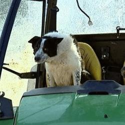 chien de berger tracteur