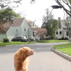 Drone promenade chien