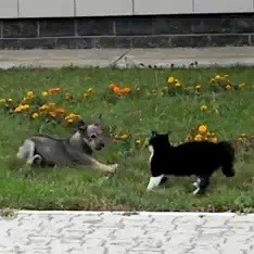 video duel western chien chat