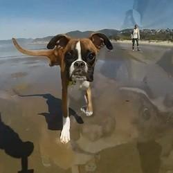 un chien à deux pattes court sur la plage
