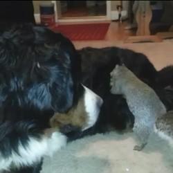 un chien cache une noisette dans le pelage d'un bouvier bernois