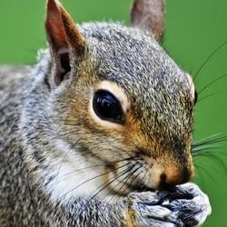 video choc ecureuil gaz poivre