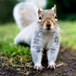 viande ecureuil grande bretagne