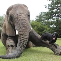Un Labrador joue avec un éléphant