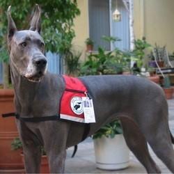 chien de service, grand danois