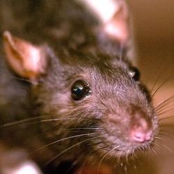 etudiants copie rats