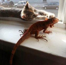 un chat devient ami avec un iguane
