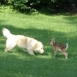 chien joue avec faon biche video