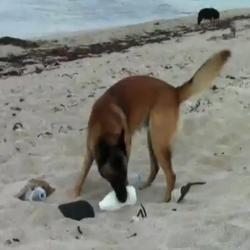Farann, le chien qui nettoie les plages bretonnes