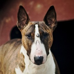 fillette defiguree petition sauver bull terrier