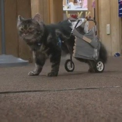 une seconde chance pour un chat paralysé