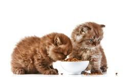 chatons en train de manger