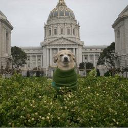 Un Chihuahua devient maire de San Francisco