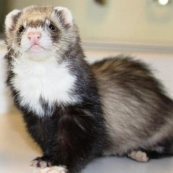 adopter furet animal domestique
