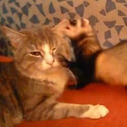 Furet et chat qui jouent