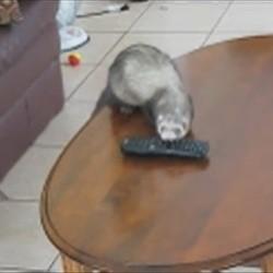 Un furet qui vole et cache la télécommande