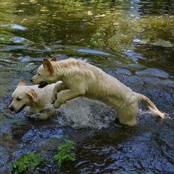 Vos chiens batifolent dans l'eau