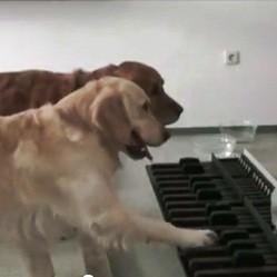 chiens golden retriever jouent piano