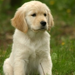 chien d'assistance golden retriever chiot