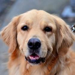 des chiens golden retriever auprès des victimes de la tuerie de newtown
