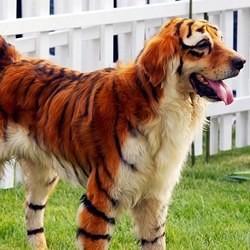 golden retriever tigre