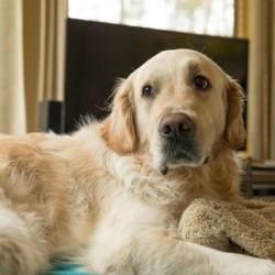 La chienne de Michel Drucker, un golden retriever, est morte
