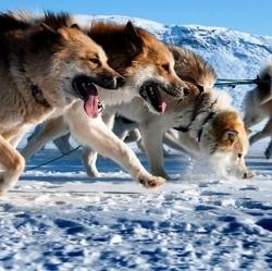 gouvernement quebecois abattage chiens traineau