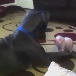 un grand danois et un petit cochon