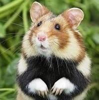 grand hamster alsace