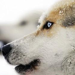 grande odyssée savoie mont blanc chien de traineau