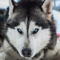 grande odyssé chien traineau