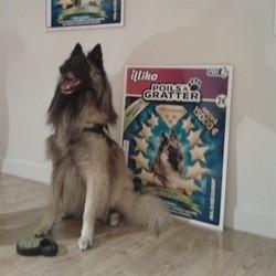 berger belge, chien star
