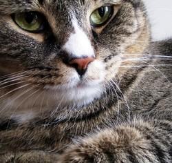 gros chat surpoids obèse