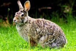 plus gros lapin