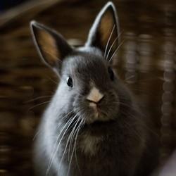 grossesse nerveuse de la lapine que faire