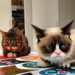 Lil Bub et Grumpy Cat se rencontrent