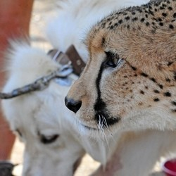 Des chiens de berger pour préserver les guépards en Namibie