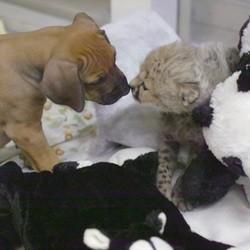 un chiot et un bébé guépard