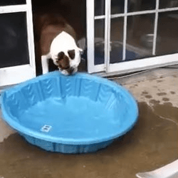 Bulldog piscine