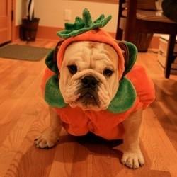 video chien costume halloween