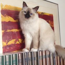 Hamlet, le chat birman de Pierre Moscovici