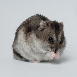hamster rongeurs nom rongeurs