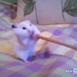 un hamster mange une friandise plus grosse que lui