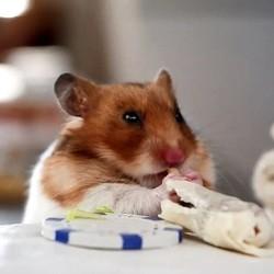 un hamster mange des petits burritos